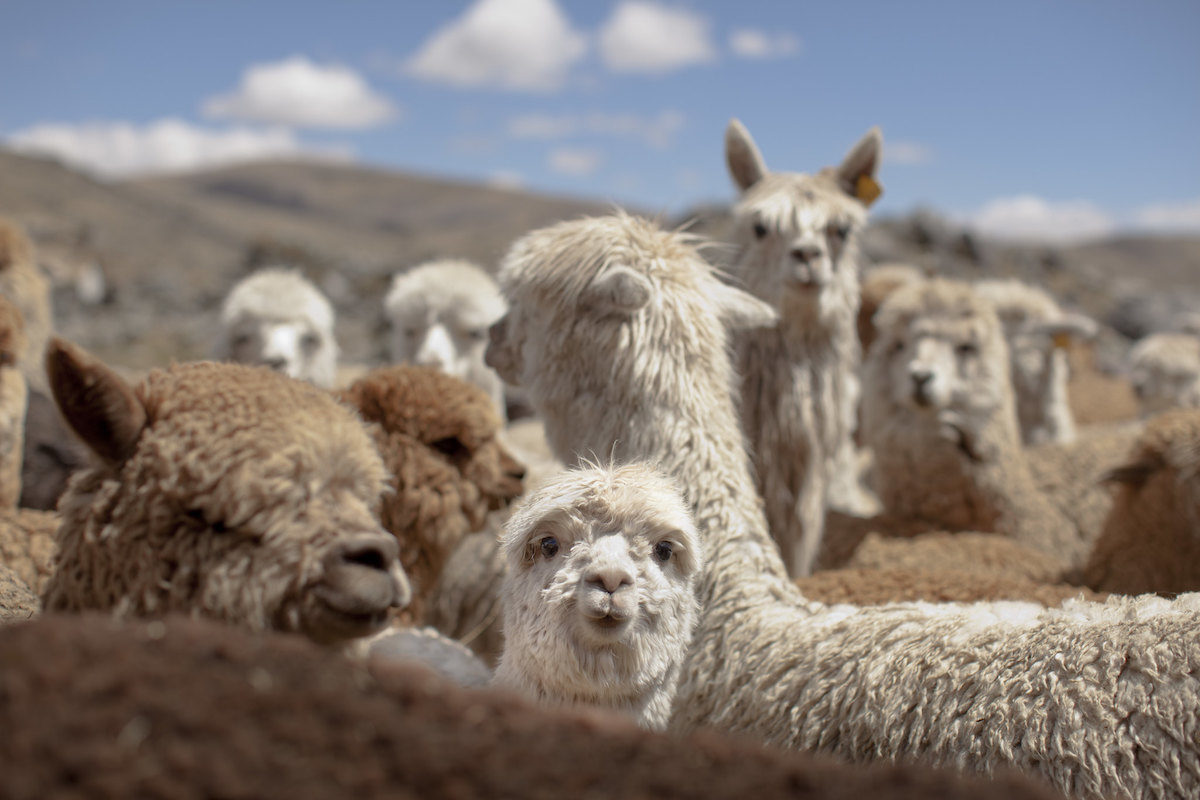 herd of alpacas